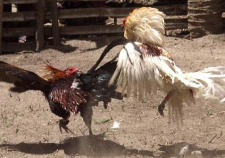 cock fight mangalore
